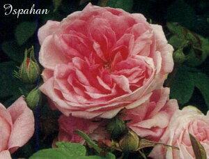 イスパハン(大苗予約)7号鉢植え  オールドローズ(アンティークローズ) ダマスクローズ バラ苗