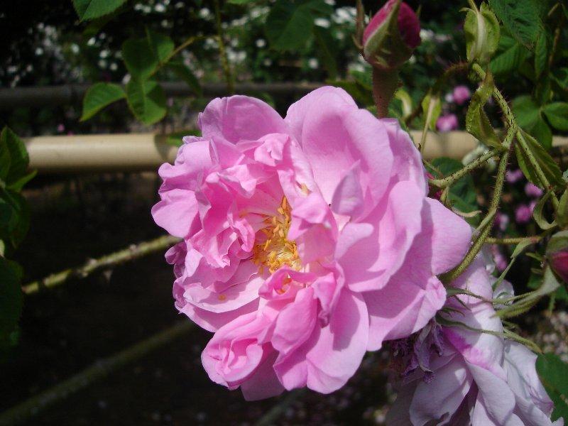 カザンリク(大苗)7号鉢植え オールドローズ(アンティークローズ) ブルガリア バラ苗
