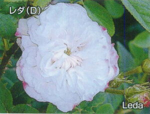 レダ(大苗予約)7号鉢植え  オールドローズ(アンティークローズ) バラ苗