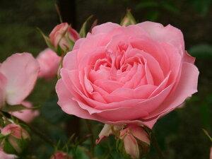 ルイーズ・オディ(大苗)7号鉢植え  オールドローズ(アンティークローズ) バラ苗