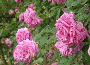 マダム・イサーク・ペレーレ(大苗)7号鉢植え  オールドローズ(アンティークローズ) バラ苗