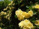 モッコウバラ(黄色)(大苗) 7号鉢植え つるバラ  オールドローズ(アンティークローズ) バラ苗