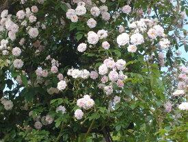 ポールズ・ヒマラヤン・ムスク(大苗予約)7号鉢植え つるバラ  オールドローズ(アンティークローズ バラ苗
