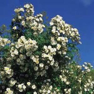ランブリング・レクター(大苗予約)7号鉢植え つるバラ  オールドローズ(アンティークローズ) バラ苗