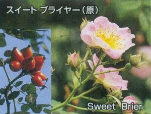 ロサ・エグランテリア(大苗予約)7号鉢植え  オールドローズ(アンティークローズ) バラ苗
