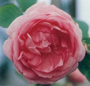ロサ・ケンティフォリア(大苗予約)7号鉢植え  オールドローズ(アンティークローズ) バラ苗