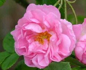 ローズ・ドゥ・メイ(大苗予約)7号鉢植え  オールドローズ(アンティークローズ) バラ苗