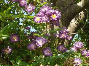 ファイル・ヒェン・ブラウ(大苗)7号鉢植え つるバラ  オールドローズ(アンティークローズ) ブルーランブラー バラ苗