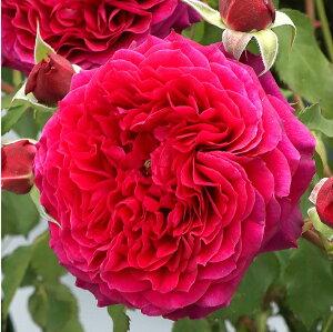 アンクレット(大苗予約)7号鉢植え シュラブローズ バラ苗