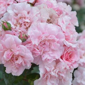 ベレニーチェ(新苗)6号鉢植え 四季咲き ローズ・バルニ Rose BARNI バラ苗