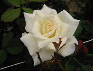 ブライダル・ホワイト(大苗予約)7号鉢植え 四季咲き中輪房咲き系(フロリバンダローズ) バラ苗