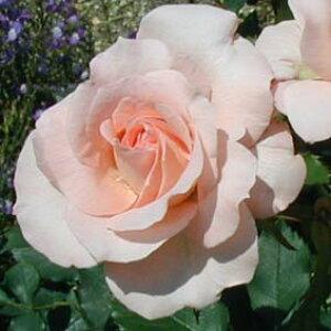 ブライダル・ピンク(大苗予約)7号鉢植え 四季咲き中輪房咲き系(フロリバンダローズ) バラ苗