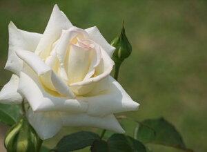 キャロリーヌ・ドゥ・モナコ(大苗)7号鉢植え バラ苗 四季咲き大輪系(ハイブリッドティーローズ)