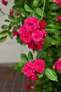 つるキングローズ(大苗予約)7号鉢植え つるバラ バラ苗