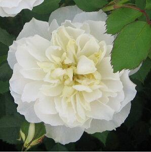 ジェントリー・ウイープス(大苗予約)7号鉢植え シュラブローズ バラ苗