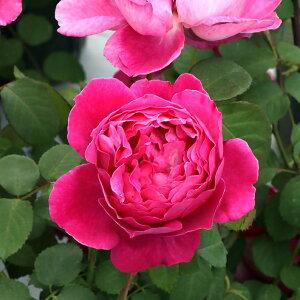 イフ・アイ・フェル(大苗予約)7号鉢植え 四季咲き中輪房咲き系(フロリバンダローズ)スプレー咲き バラ苗