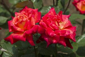錦絵(にしきえ)(大苗予約)7号鉢植え 四季咲き中輪房咲き系(フロリバンダローズ) バラ苗