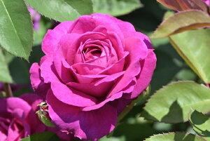 オールド・ポート(大苗)7号鉢植え バラ苗 四季咲き中輪房咲系(フロリバンダローズ)