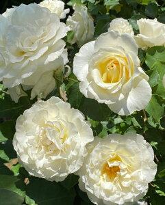 パール・イヤリング(大苗予約)7号鉢植え 四季咲き大輪系(ハイブリッドティーローズ) インタープランツ バラ苗