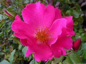 プレイガール(大苗)7号鉢植え バラ苗 四季咲き中輪房咲き系(フロリバンダローズ)