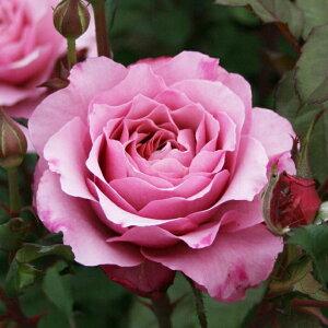 プラム・グレイ(大苗予約)7号鉢植え シュラブローズ バラ苗