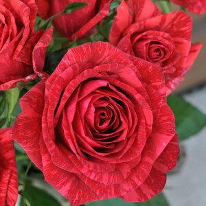 レッド・インテューション(新苗)6号鉢植え デルバール(Delbard) フレンチローズ 四季咲き バラ苗
