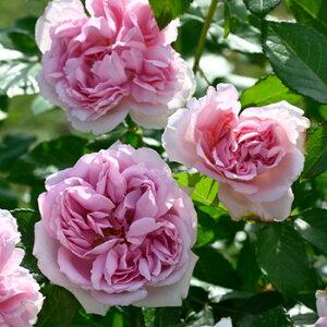 ローズ・アントワネット(新苗)6号鉢植え デルバール(Delbard) フレンチローズ ロゼット咲き 四季咲き バラ苗