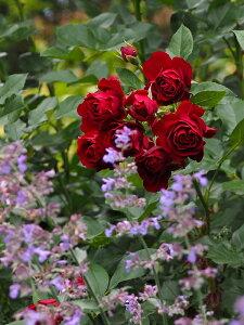 ローズ・ブルイィ(新苗)6号鉢植え 繰り返し咲き ギヨー社・フランス GUILLOT バラ苗