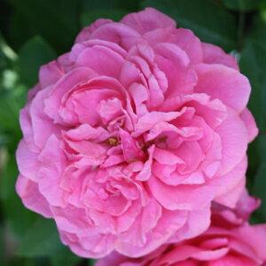 ローズ笛吹(大苗予約)7号鉢植え シュラブローズ バラ苗