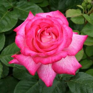 ローズ・ゴジャール(大苗予約)7号鉢植え ゴジャールローズ バラ苗