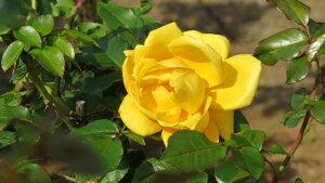 秋月(大苗予約)7号鉢植え バラ苗 四季咲き大輪系(ハイブリッドティーローズ)