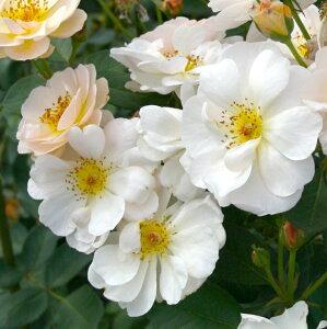 サイレント・クラウド(大苗予約)7号鉢植え シュラブローズ バラ苗