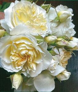 シュルプリーズ(大苗予約)7号鉢植え 四季咲き 禅ローズ バラ苗