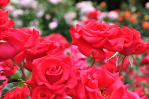 タイムレス′98(大苗)7号鉢植え バラ苗 四季咲き大輪系(ハイブリッドティーローズ)