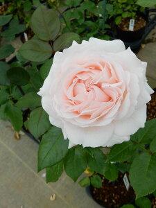 雪渡り(ゆきわたり)(新苗)6号鉢植え 四季咲き 中輪 禅ローズ バラ苗