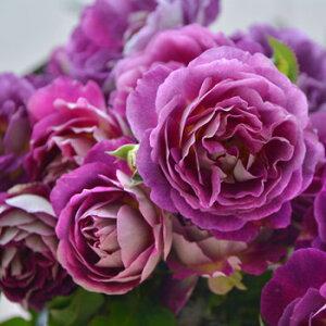 オルフェオ(大苗予約)7号鉢植え バラ苗 四季咲き ロサ・オリエンティス