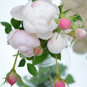 ラパン (鉢苗)7号鉢植え バラ苗 四季咲き ロサ・オリエンティス