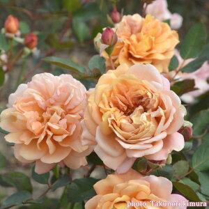 マロン(大苗予約)7号鉢植え 四季咲き中輪房咲き系(フロリバンダローズ) ロサ・オリエンティス バラ苗