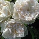 クイーン・オブ・ジ・エルブス(大苗)7号鉢植え 四季咲き シュラブローズ ロサ・オリエンティス バラ苗