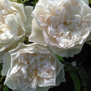 クイーン・オブ・ジ・エルブス(大苗予約)7号鉢植え 四季咲き シュラブローズ ロサ・オリエンティス バラ苗
