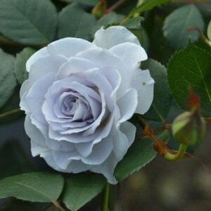 ブルーグラビティー(大苗予約)7号鉢植え バラ苗 四季咲き ロサ・オリエンティス