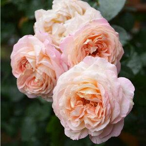 オーブ(大苗予約)7号鉢植え 四季咲き大輪系(つるバラ) ロサ・オリエンティス バラ苗