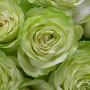 わかな(大苗予約)7号鉢植え 四季咲き大輪系(ハイブリッドティーローズ) ロサ・オリエンティス