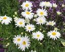 デージー スノードリフト (10.5cmポット) 宿根草