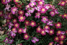 ローラ・アシュレイ(大苗予約)7号鉢植え 返り咲き  クライミングミニチュア  小輪 バラ苗