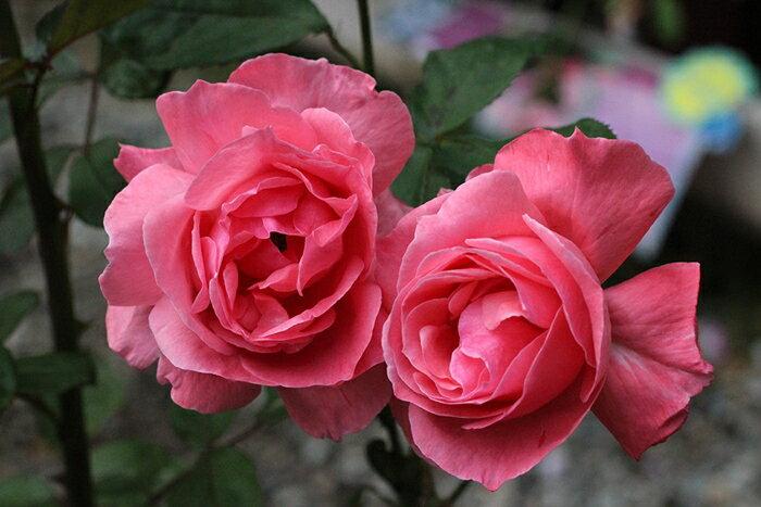 茜雲(あかねぐも)(大苗)7号鉢植え 四季咲き フロリバンダローズ(四季咲き中輪房咲きバラ) バラ苗 禅ローズ Zen Rose