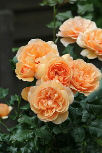 アンゲリカ(大苗予約)7号鉢植え  四季咲き中輪房咲き系(フロリバンダローズ)スプレー咲き バラ苗