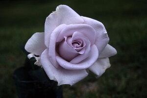 青の軌跡(大苗予約)7号鉢植え  四季咲き大輪系(ハイブリッドティーローズ) バラ苗