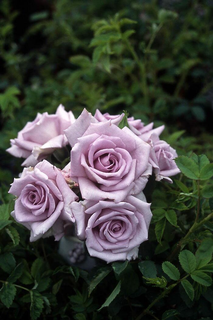 薔薇の海 ばらのうみ (大苗予約)7号鉢植え 四季咲き ミニチュア バラ苗