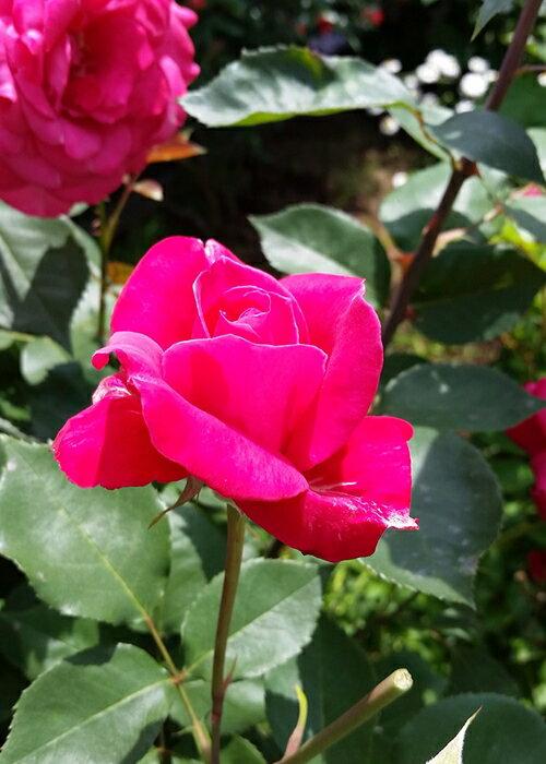 シエンプレ(大苗予約)7号鉢植え ハイブリッドティーローズ(四季咲き大輪花バラ) バラ苗